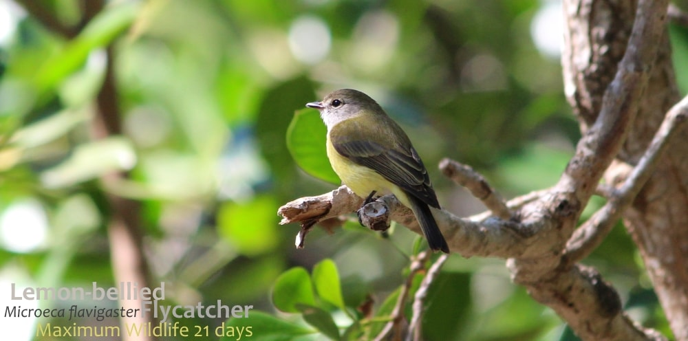 lemon yellow flycatcher robin bird Australia Top End