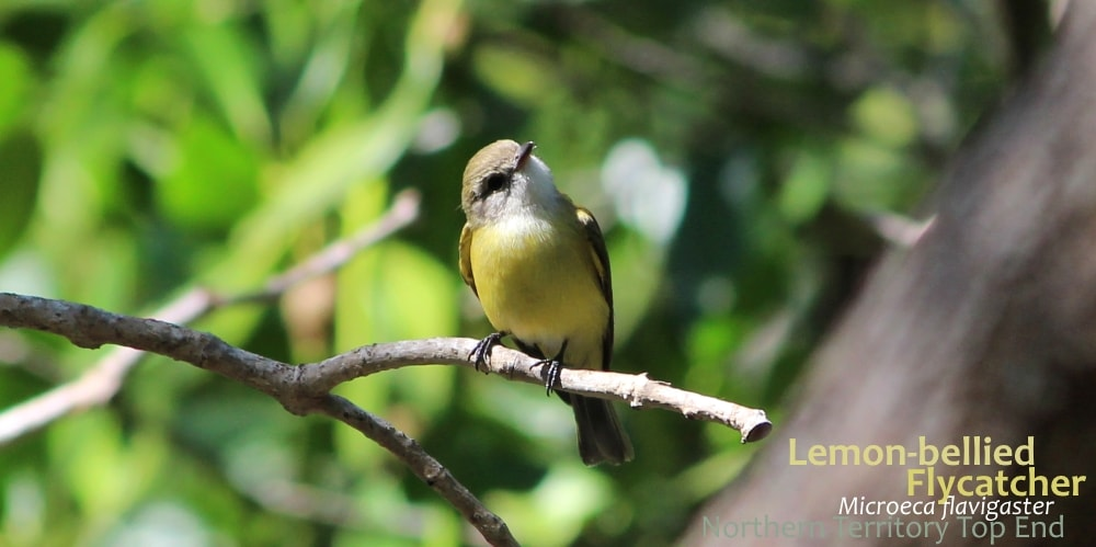 Lemon-bellied Flyrobin Flycatcher Australia