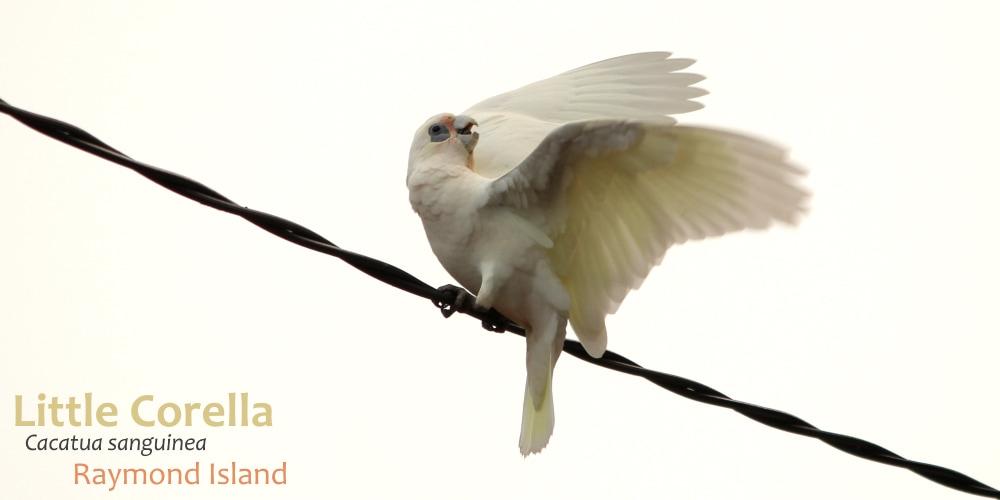 Wildlife Journey safari fauna checklist corella