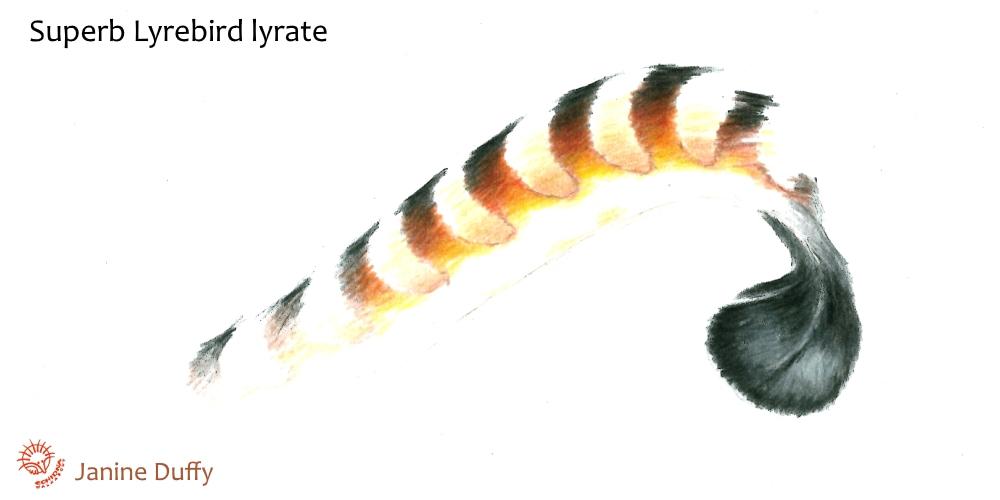 Menura novaehollandiae tail diagram lyrate