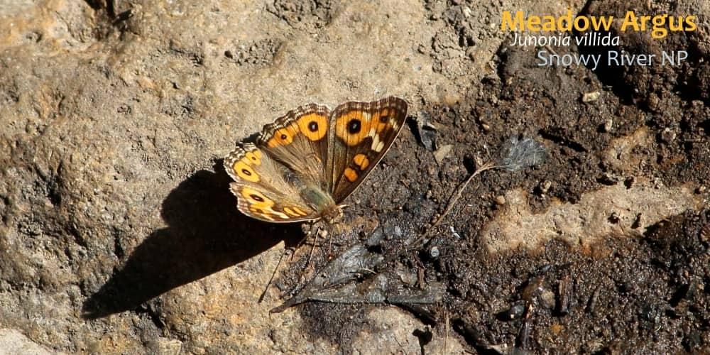 see butterflies in southern Australia Junonia villida