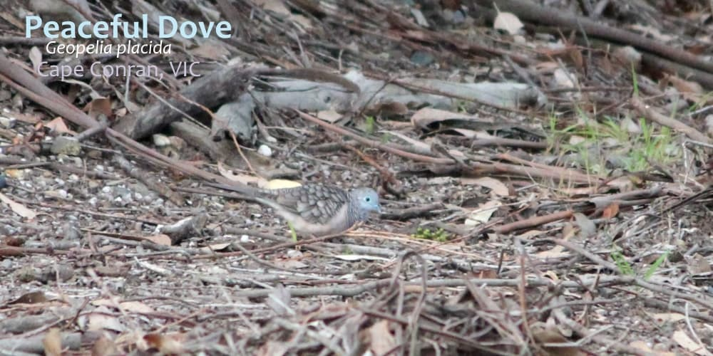 Peaceful Dove East Gippsland Wildlife Journey