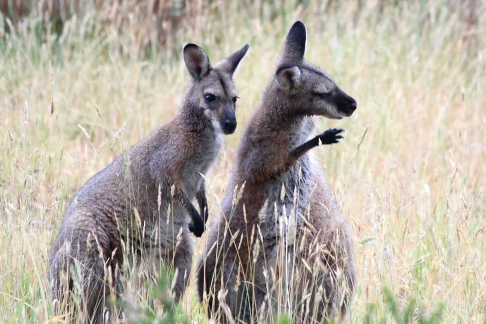 red-necked wallabies socialising