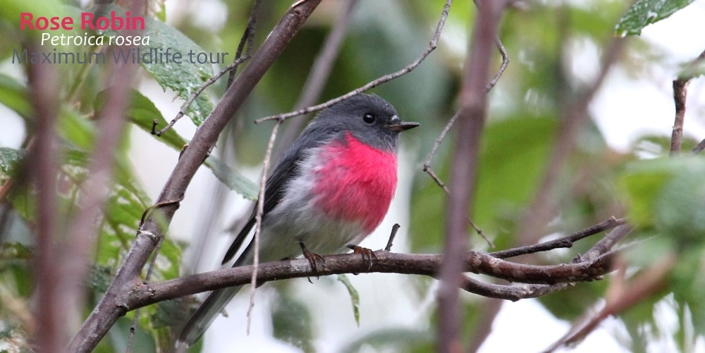rose robin bird Australia
