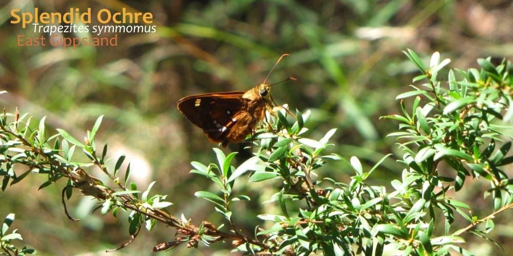 Trapezites symmomus butterfly near Melbourne Australia