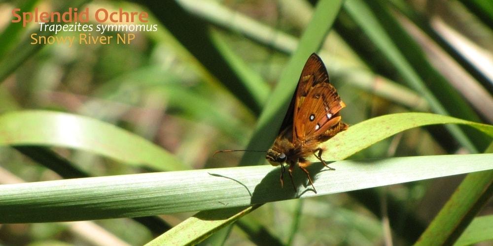 butterflies East Gippsland Trapezites symmomus