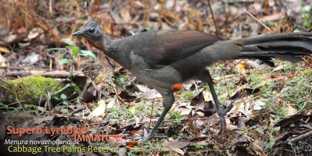 Menura novaehollandiae immature bird