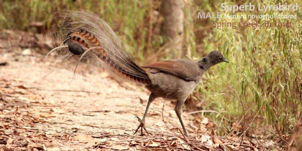 Superb Lyrebird plumage male East Gippsland