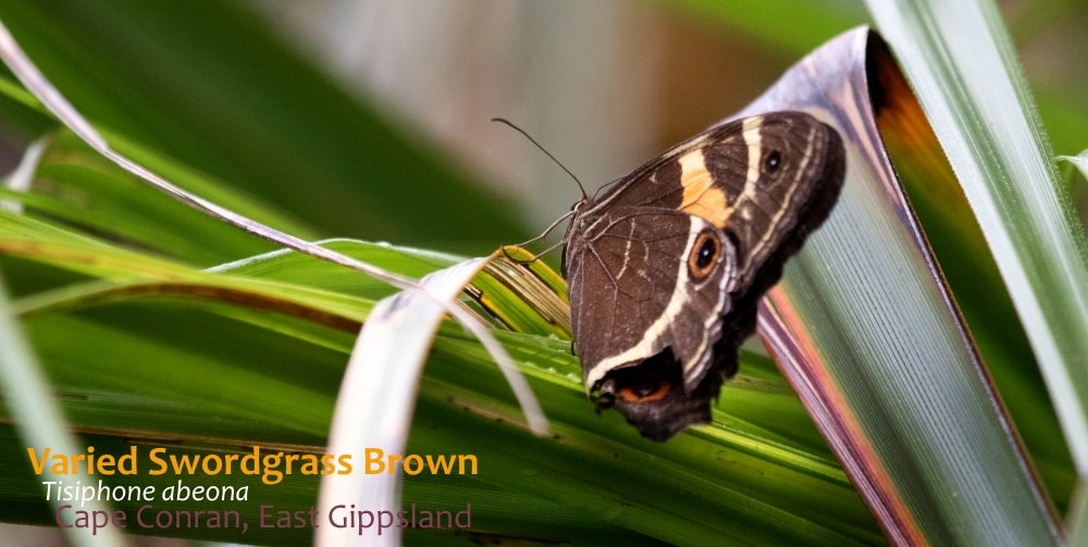 where to see butterflies in southern Australia Tisiphone abeona