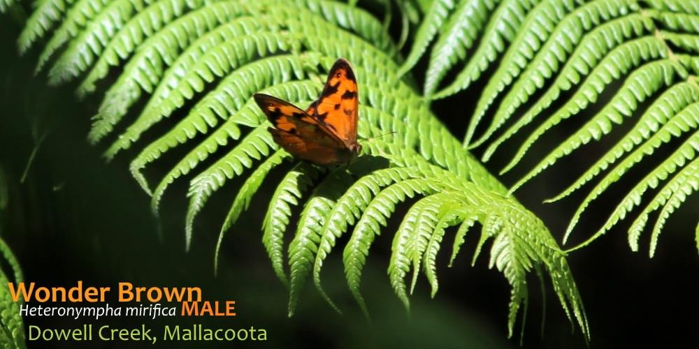 butterflies East Gippsland Heteronympha mirifica