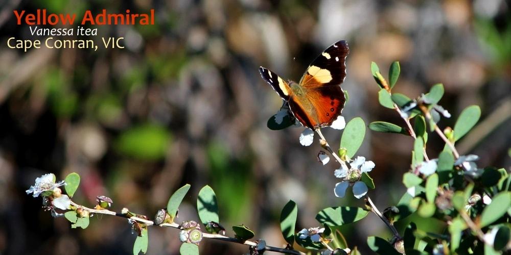 vanessa itea butterflies near Melbourne
