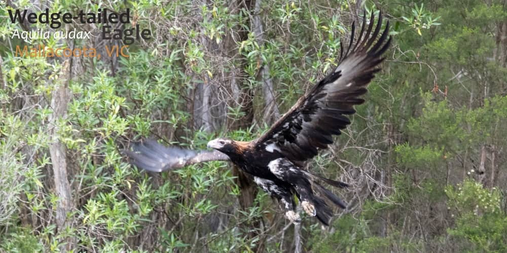 Wedge-tailed eagle flying Australia
