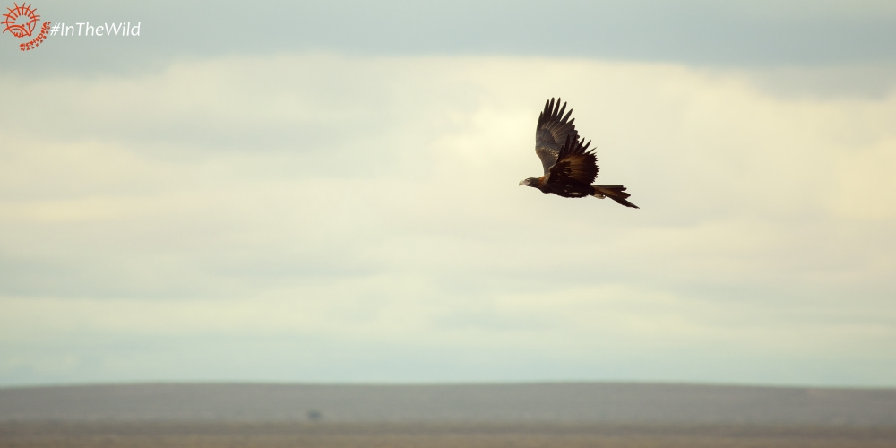 5 Amazing Facts about the Australian Wedge-tailed Eagle