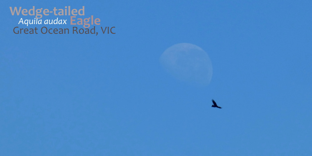 large Wedge-tailed eagle Australia flight moon