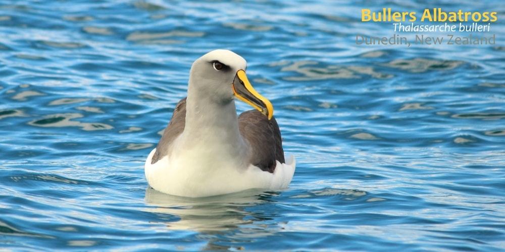 buller's albatrosses seen in southern australia