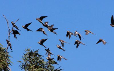 Wild Cockatiels Flying