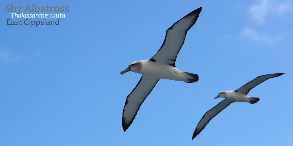 shy albatrosses East Gippsland southern australia