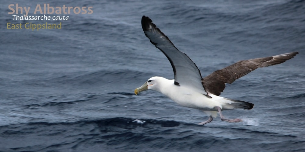 albatrosses seen Victoria Australia