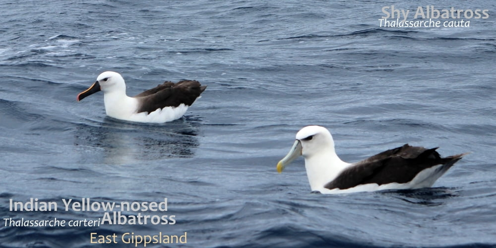 shy yellow-nosed albatrosses seen southern australia
