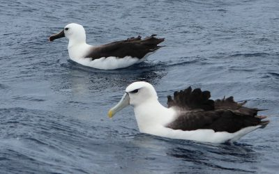 Seeing Albatrosses in southern Australia