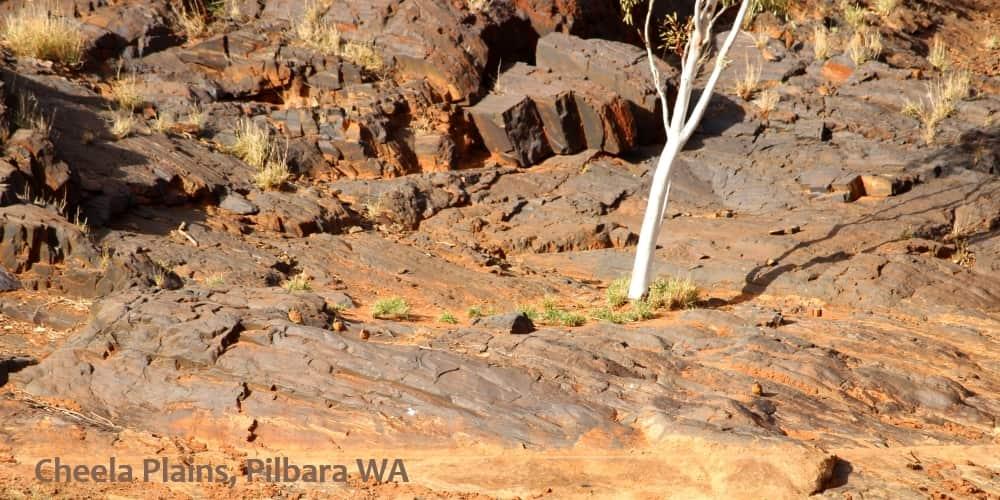 see wild pigeons in australia