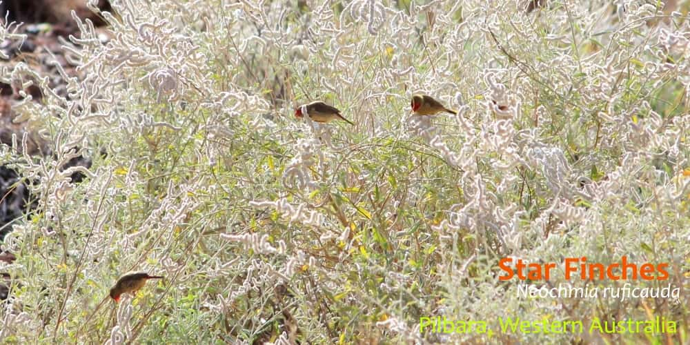see wild finches in australia