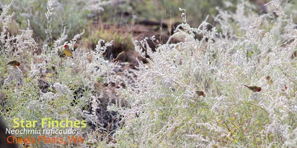 see wild Star finches Australia