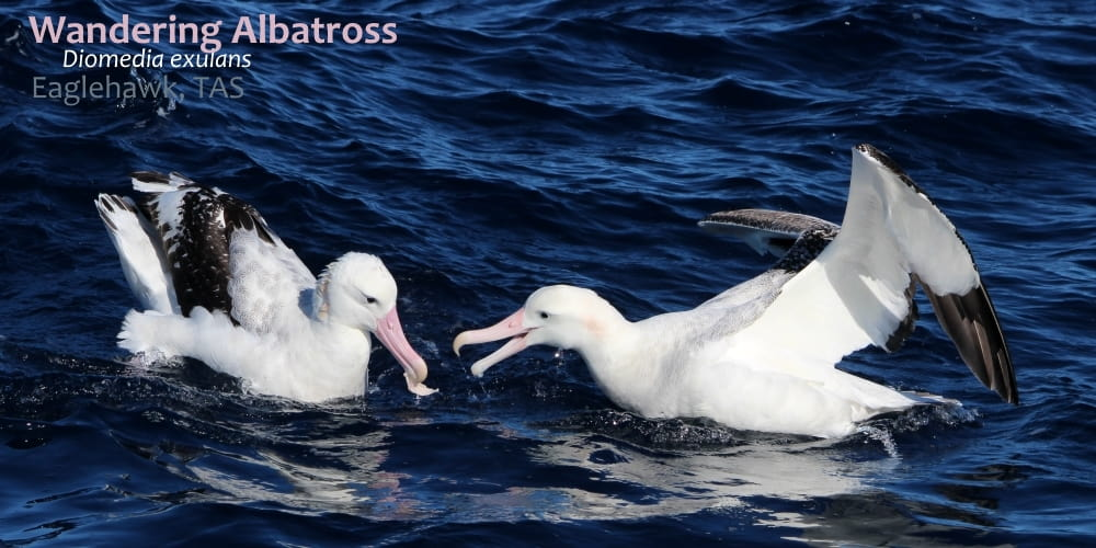 wandering albatross tasmania southern australia