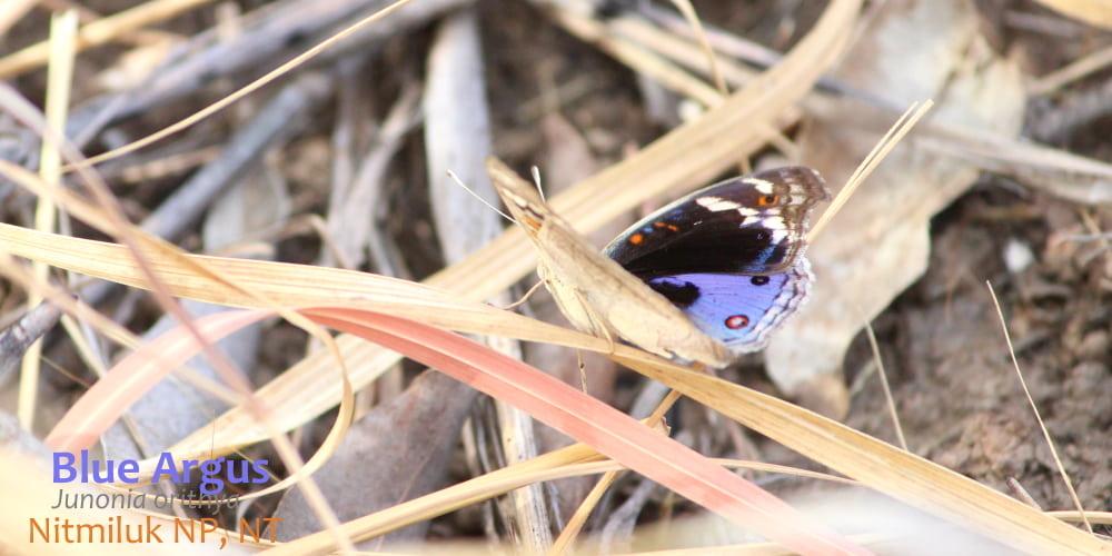 Blue Argus butterfly Nitmiluk