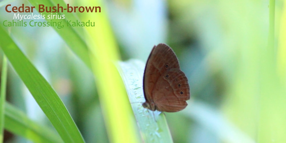 Mycalesis Bush-brown Butterflies of Northern Territory