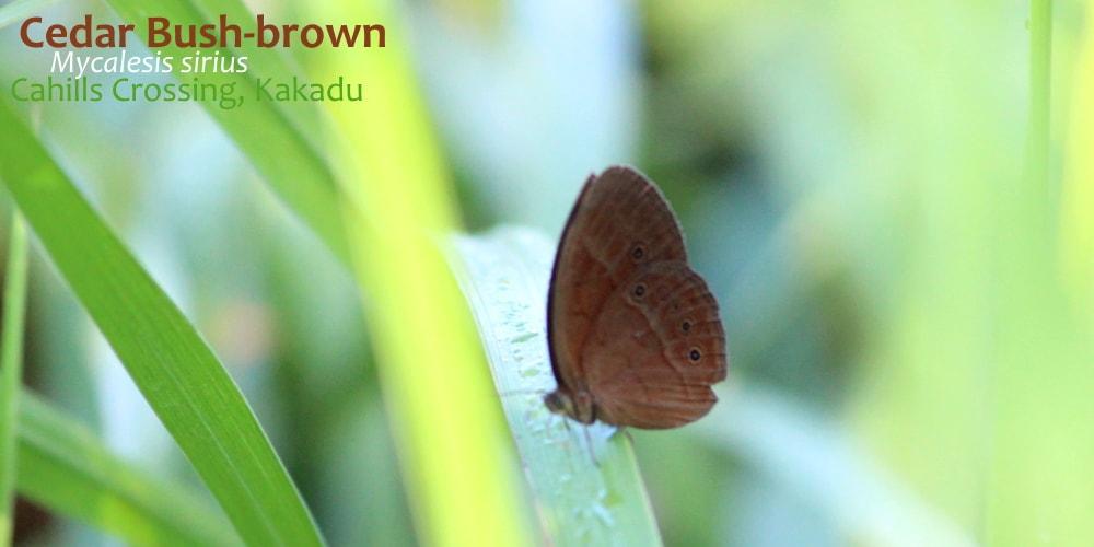 Mycalesis Bush-brown Butterflies of Northern Territory