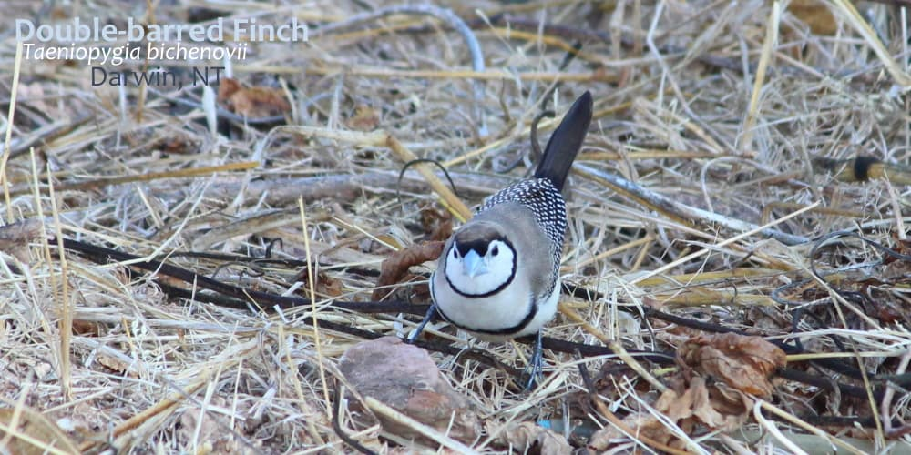 Double-barred finch Northern Territory