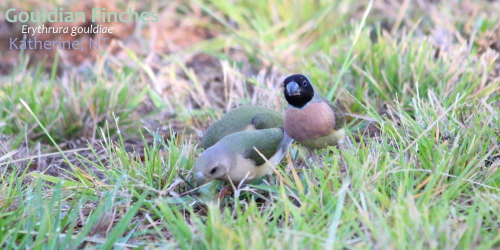 GOULDIAN finch female Northern Territory