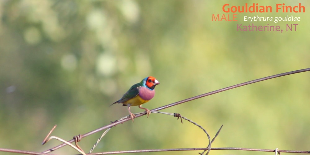 Gouldian finches red-headed male