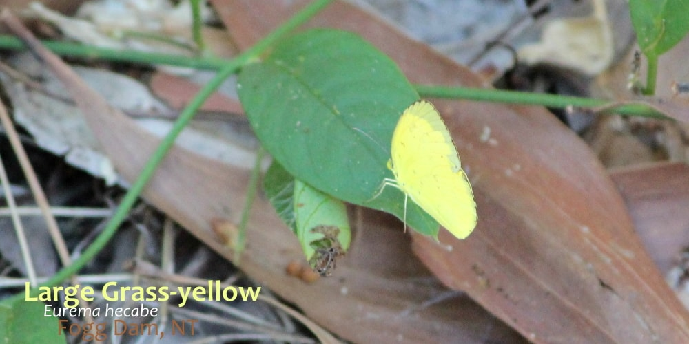 Eurema hecabe on leaf near ground