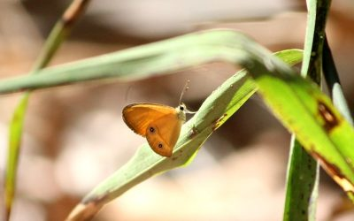 Butterflies of Northern Territory, part 2