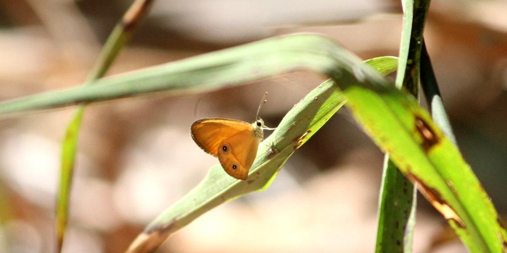 Orange Ringlet Butterflies of Northern Territory