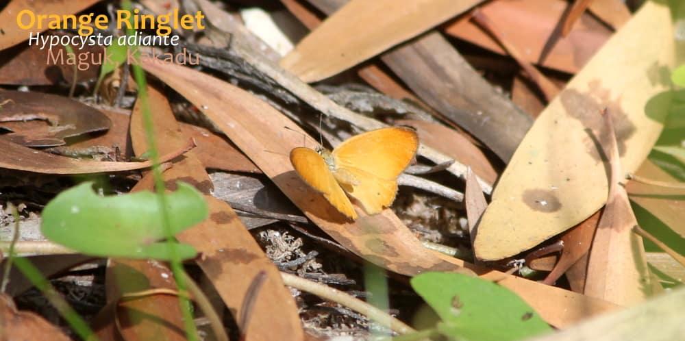 Hypocysta adiante Butterflies of Northern Territory