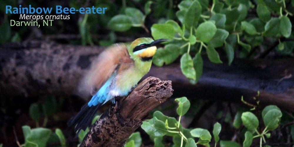 Australian Bee eater wet