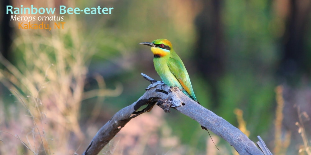 beautiful Rainbow Bee-eater on branch