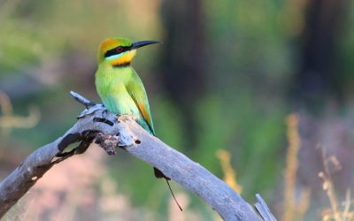 5 Amazing Facts: Beautiful Rainbow Bee-eater Birds