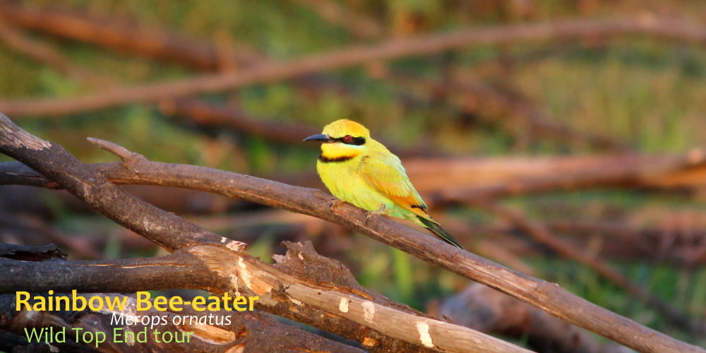 Merops ornatus beautiful bee eater
