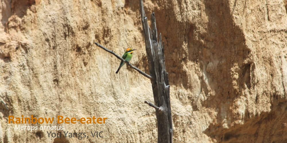 Rainbow Bee-eater at nest habitat