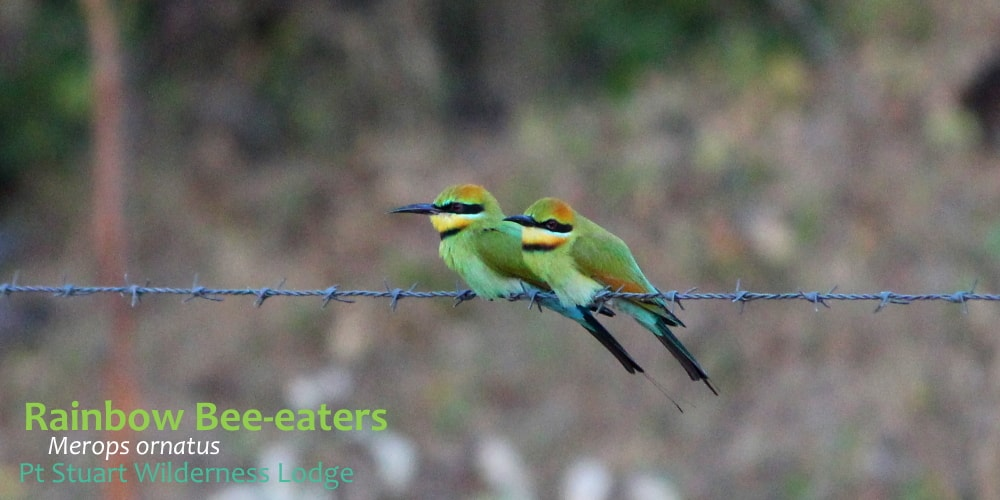 two rainbow beeeater birds on fence