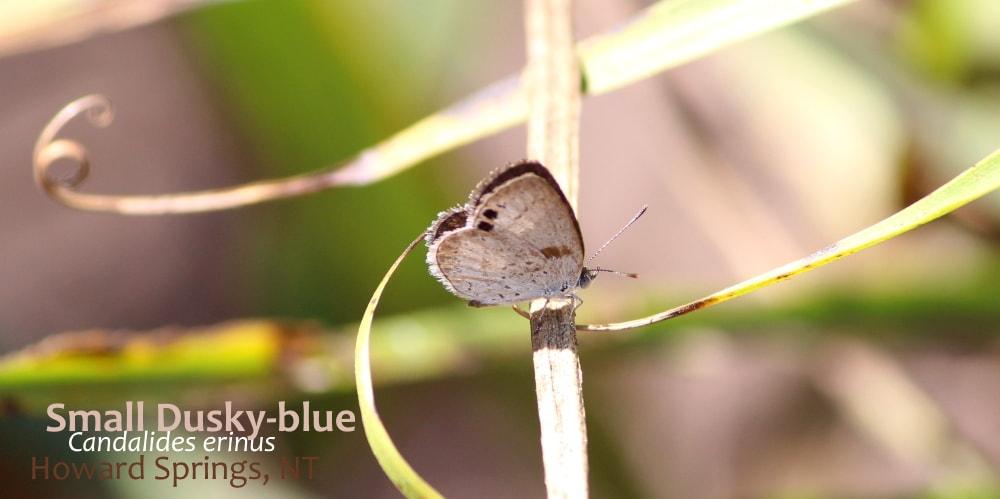 Dusky-blue Butterfly underside on grass