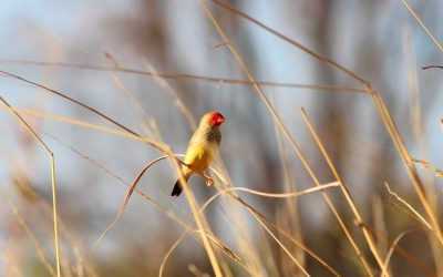 Tiny Stars: Finches of the Northern Territory
