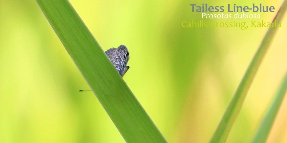 Prosotas dubiosa Butterfly Kakadu Northern Territory