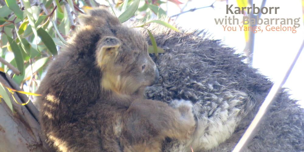 funny cute baby koala