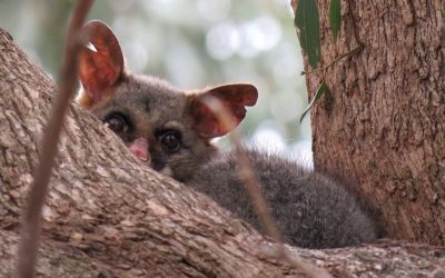 5 Amazing Facts about Brushtail Possums