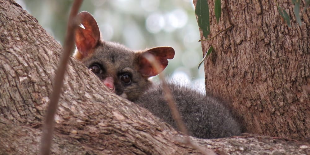 facts about Brushtail possums